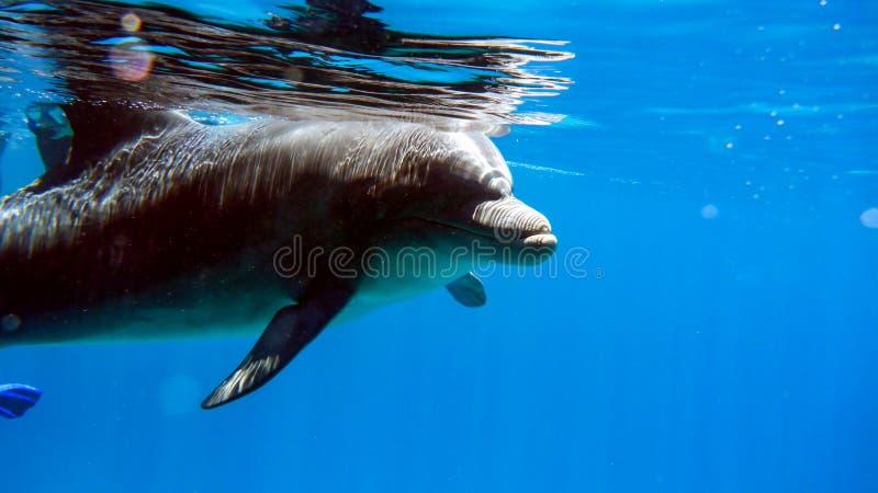 Zamyka w górę Bottlenose delfinu w czerwonym morzu Izrael, Eilat zdjęcie stock