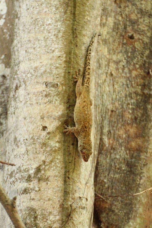 Zamyka w górę Brązowego oko gekonu obrazy stock
