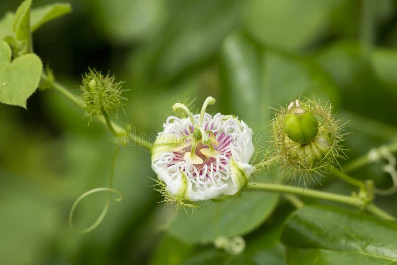 Zamyka w górę Cuchnącego passionflower, Scarletfruit passionflower, Sti obrazy stock