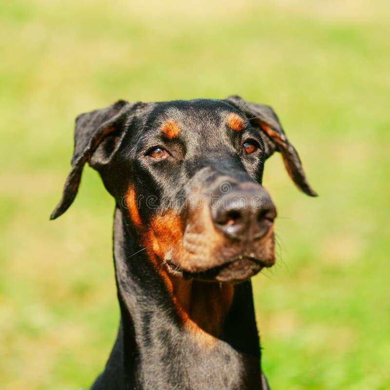 Zamyka W górę Czarnego Doberman psa Na Zielonej trawie fotografia stock