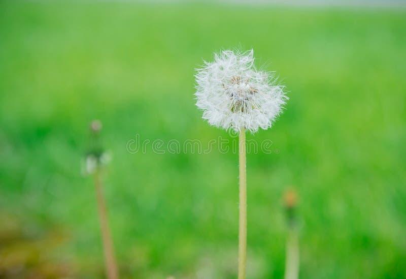 Zamyka w górę dandelion kwiatu w błękitnym jaskrawym turkusie Tło horyzontalny widok zdjęcia stock