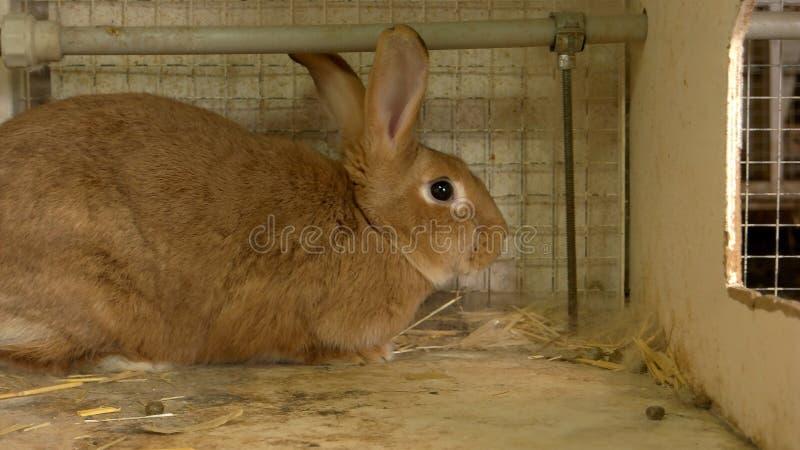 Zamyka w górę dużego brązu królika w hutch obraz royalty free