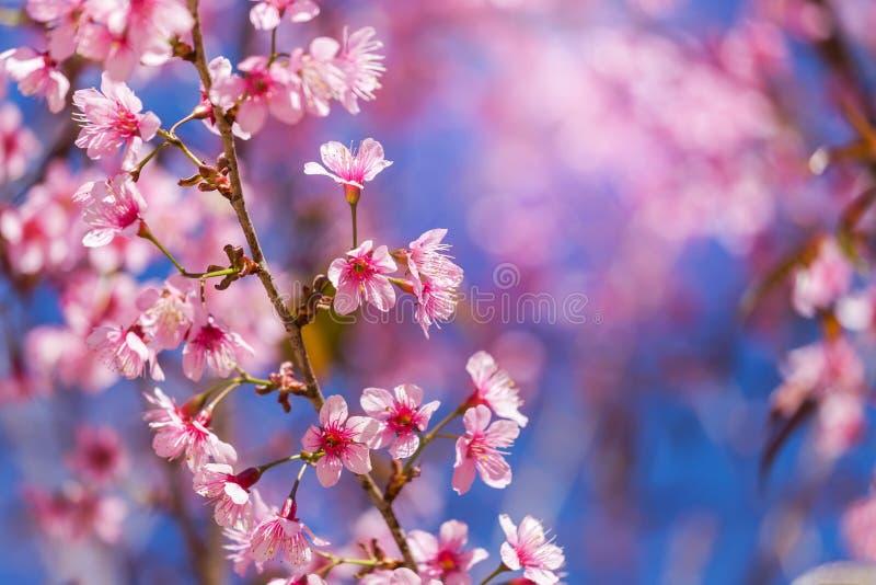 Zamyka w górę Dzikich Himalajskich Czereśniowych okwitnięć Prunus cerasoides kwitnie na drzewie fotografia royalty free