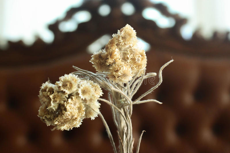 Zamyka w górę Edelweis kwiatu zdjęcia stock