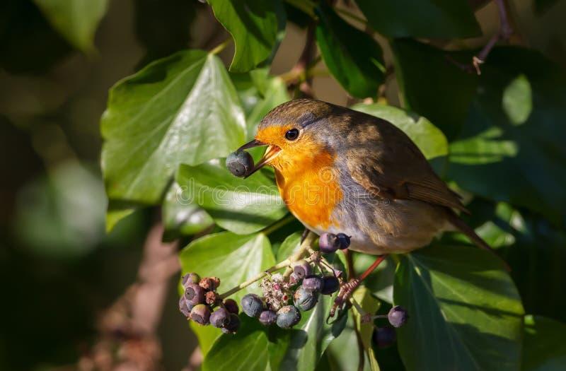 Zamyka w górę Europejskich rudzika łasowania jagod w drzewie zdjęcie stock