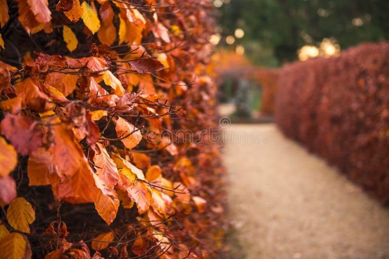 Zamyka w górę fadingu spada złota, pomarańczowi liście na gałąź krzak rośliny ściana Opóźniona jesień Ogródu lub parka rzędy krza zdjęcia stock