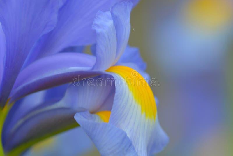Zamyka w górę fotografii błękitny irysowy kwiat fotografia royalty free