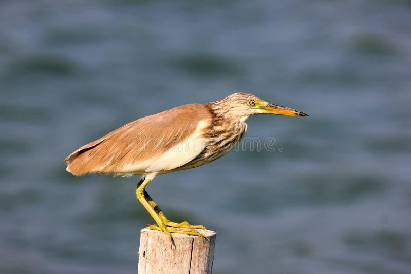 Zamyka w górę fotografii brodzącego ptaka Ardeola Chiński Stawowy Czapli bacchus zdjęcie stock