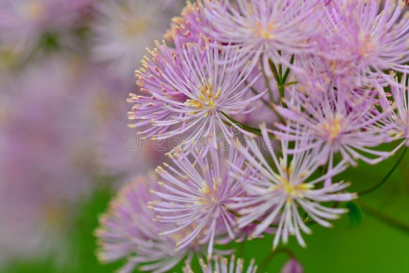 Zamyka w górę fotografii menchia kwiat, przypomina fajerwerki obrazy royalty free