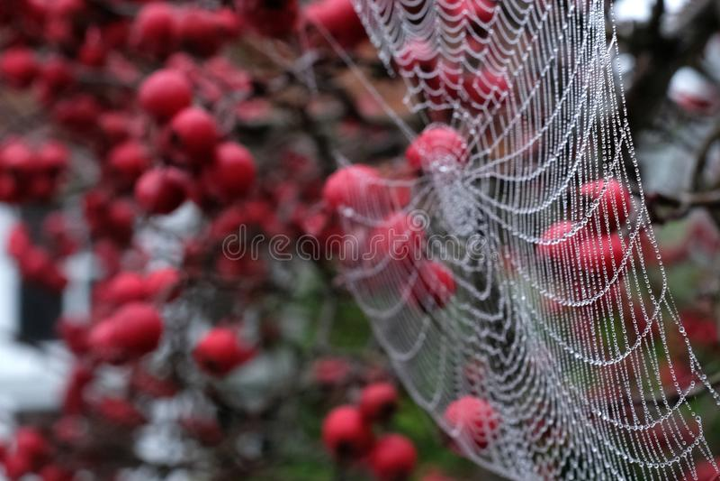 Zamyka w górę fotografii pająka ` s sieć z rosa kroplami wiesza od czerwonej krab jabłoni w jesieni fotografia royalty free