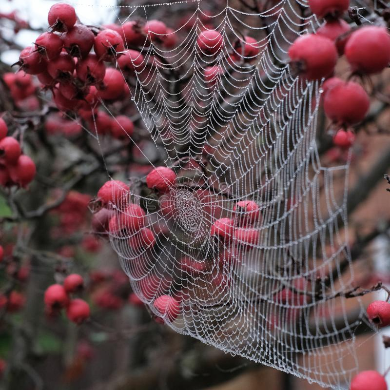 Zamyka w górę fotografii pająka ` s sieć z rosa kroplami wiesza od czerwonej krab jabłoni w jesieni obrazy royalty free