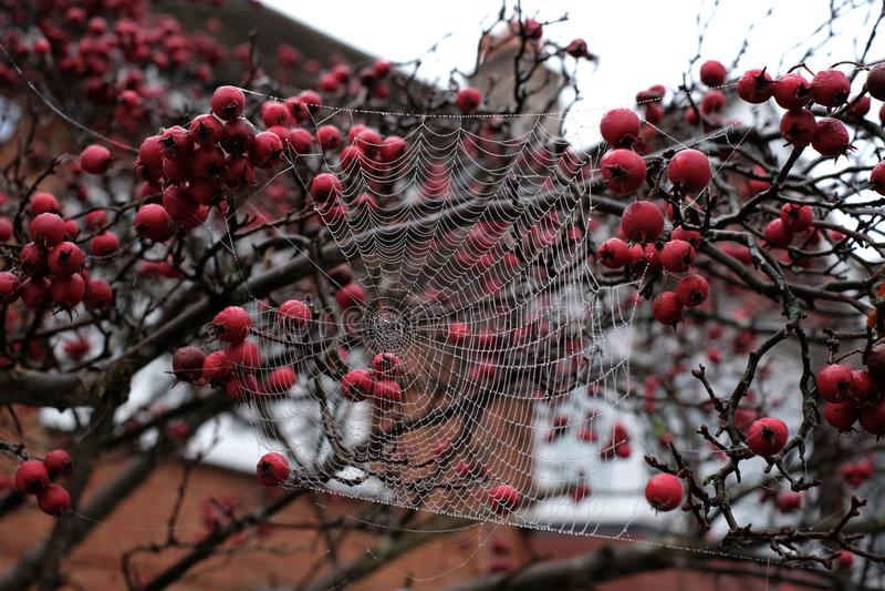 Zamyka w górę fotografii pająka ` s sieci obwieszenie od czerwonej krab jabłoni w jesieni obraz stock