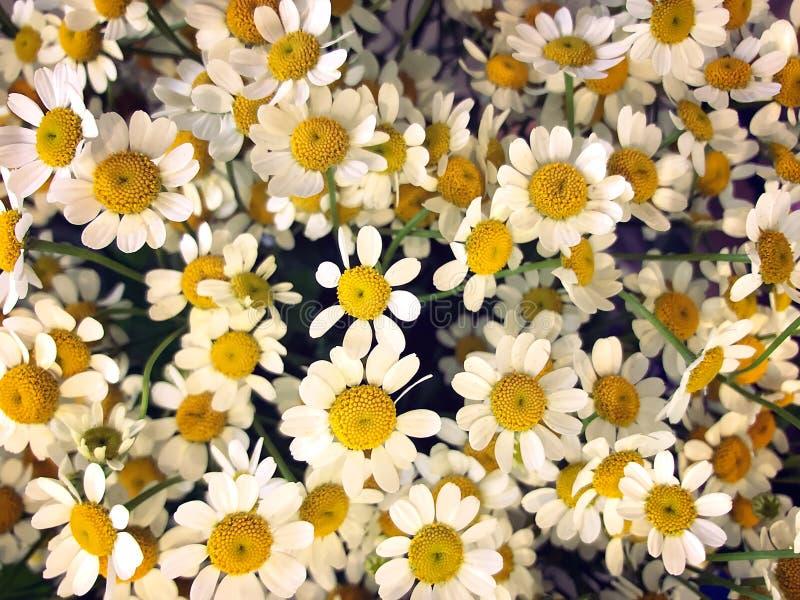 Zamyka W górę fotografii Piękni Chamomile kwiaty w Pełnym kwiacie fotografia royalty free