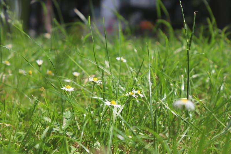 Zamyka w górę fotografii trawa Dzikiego rumianku kwiaty fotografia stock
