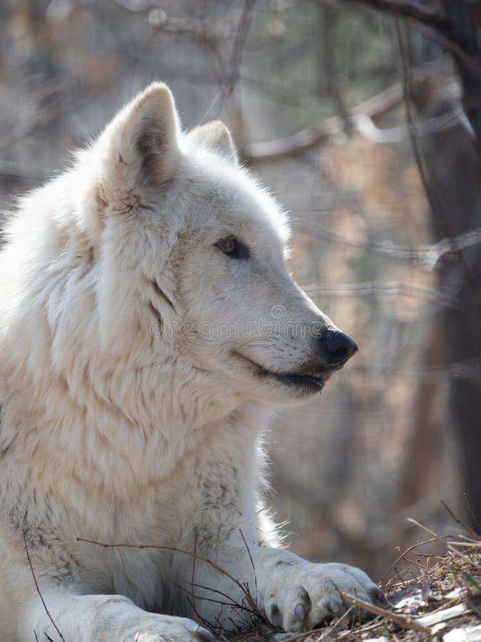 Zamyka W górę głowy Szary wilk Stawia czoło Dobrze zdjęcia stock