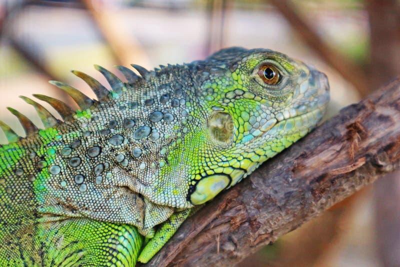 Zamyka W górę głowy Zielona iguana zdjęcia stock