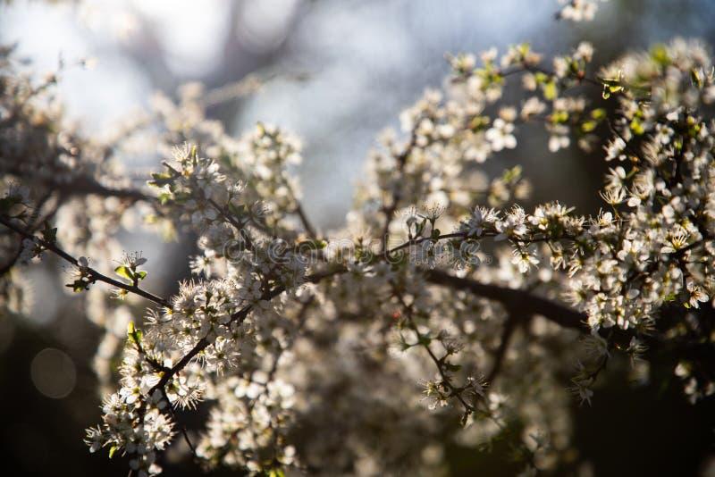 Zamyka w górę gałąź z białym małym światłem w tle i kwiatami obrazy stock