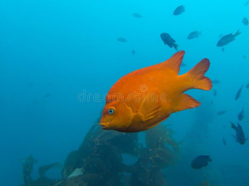 Zamyka W górę Garibaldi pomarańcze ryba Podwodnej z Kelp w Błękitnym Ocea fotografia stock