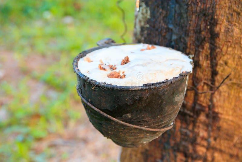 Zamyka w górę gumowego lateksu łapać w pułapkę od gumowego drzewa ogródu rolnictwa w wsi z kopii przestrzenią dodaje tekst obraz stock