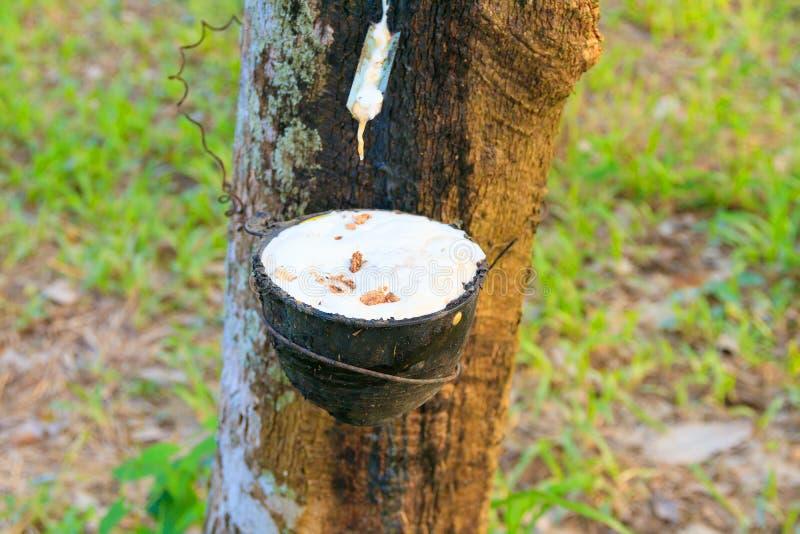 Zamyka w górę gumowego lateksu łapać w pułapkę od gumowego drzewa ogródu rolnictwa w wsi z kopii przestrzenią dodaje tekst fotografia royalty free