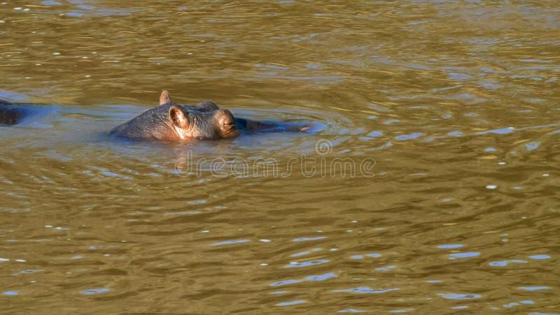 Zamyka w górę hipopotama w Mara rzece w masai Mara Kenya obraz royalty free