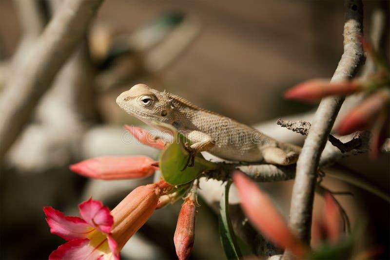 Zamyka w górę Indiańskiego kameleonu z (Chamaeleo zeylanicus) obrazy royalty free