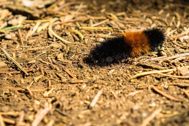Zamyka w górę Isabella Tygrysiego ćma lub Skrzyknącej Woolybear Pyrrharctia Isabella gąsienicy, Calaveras drzew stanu Duży park,  zdjęcie royalty free