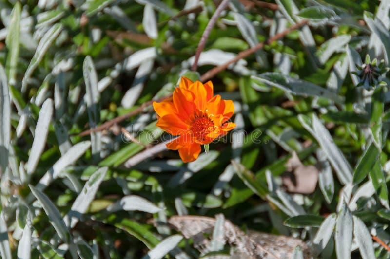 Zamyka w górę jaskrawego pomarańczowego calendula kwiatu zdjęcia stock