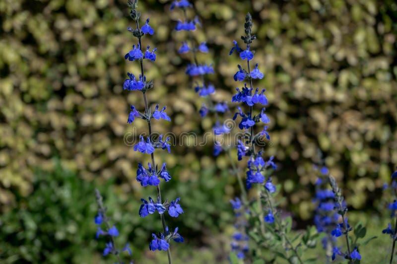 Zamyka w górę jaskrawych błękitnych kwiatów na słonecznym dniu zdjęcie stock