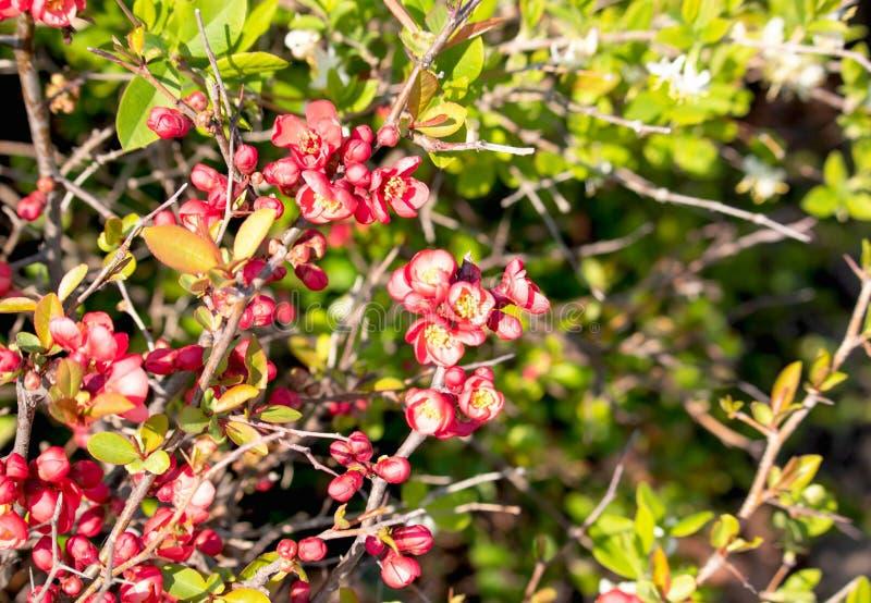 Zamyka w górę jaskrawych pięknych kwitnienie kwiatów i jaskrawego menchii i koloru żółtego - zieleń liście w parku zdjęcia royalty free