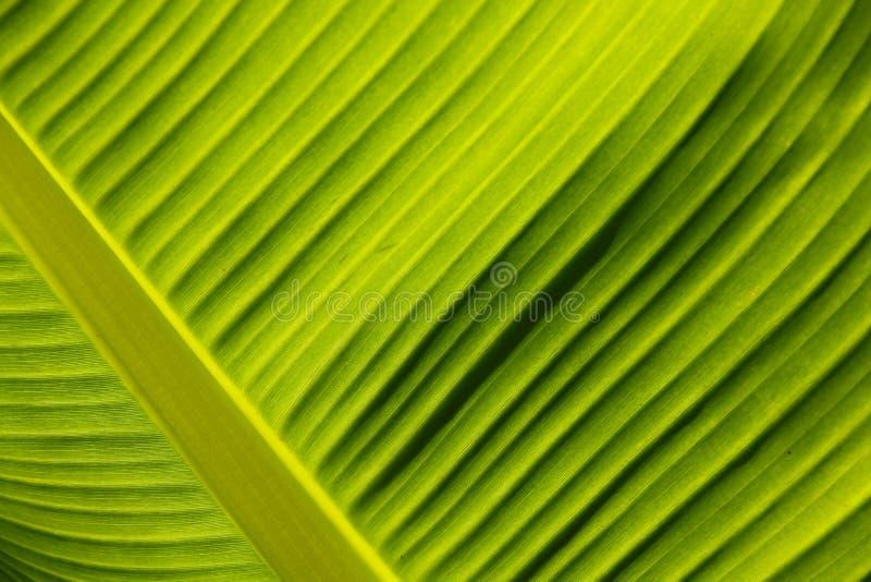 Zamyka w górę kalii lelui liścia Podiceps cristatus fotografia royalty free