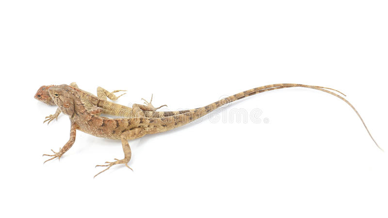 Zamyka w górę kameleonu odizolowywającego na białym tle zdjęcie stock