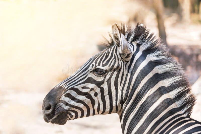 Zamyka w górę kierowniczego gf równiien zebry Equus kwaga lub Burchells zebry Equus burchelli obrazy royalty free