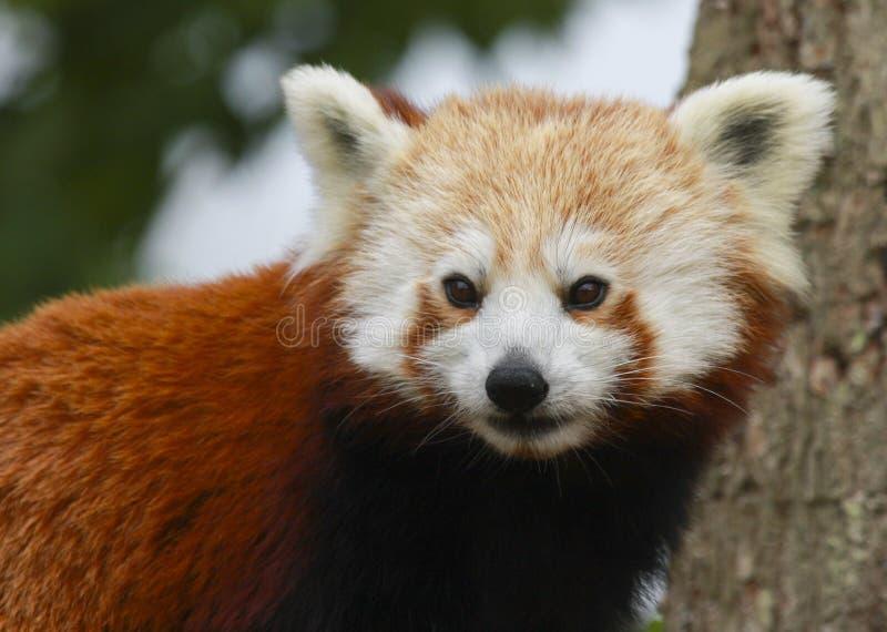 Zamyka w górę kierowniczego i ramion Czerwonej pandy Ailurus fulgens zdjęcie stock