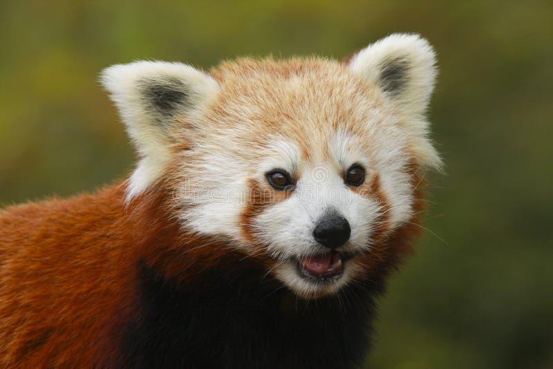Zamyka w górę kierowniczego i ramion Czerwonej pandy Ailurus fulgens obrazy stock