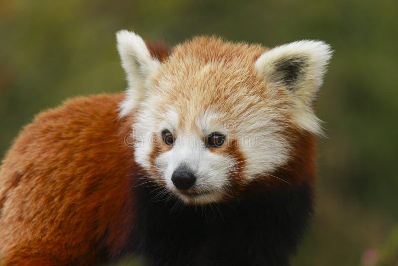 Zamyka w górę kierowniczego i ramion Czerwonej pandy Ailurus fulgens fotografia royalty free