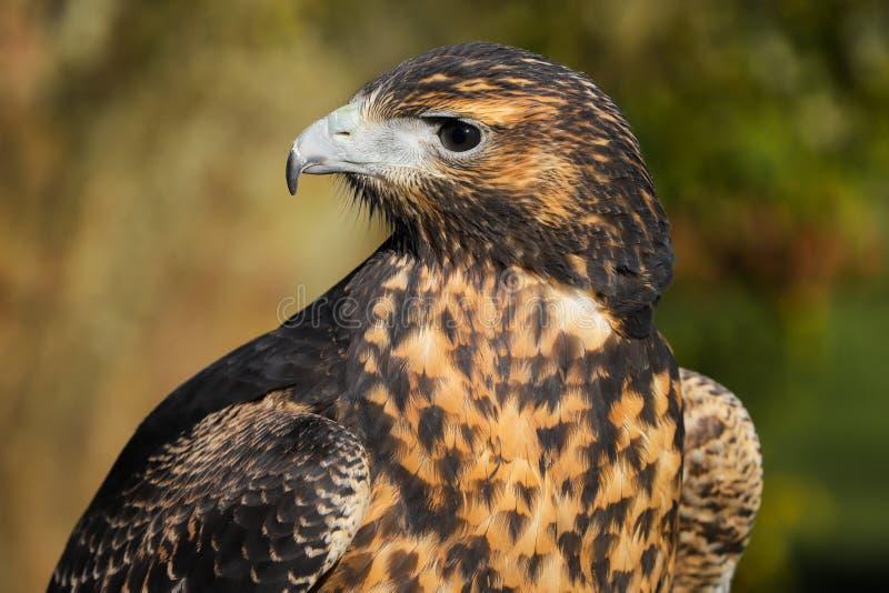 Zamyka w górę kierowniczego i ramion Popielaty myszołów Eagle zdjęcie royalty free