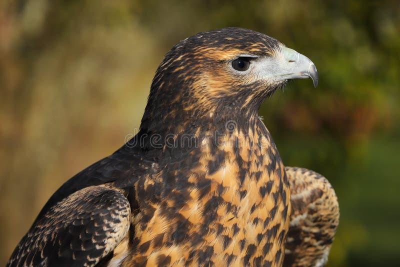 Zamyka w górę kierowniczego i ramion Popielaty myszołów Eagle zdjęcie stock