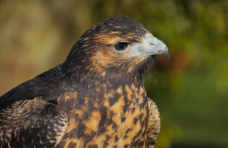 Zamyka w górę kierowniczego i ramion Popielaty myszołów Eagle zdjęcia royalty free