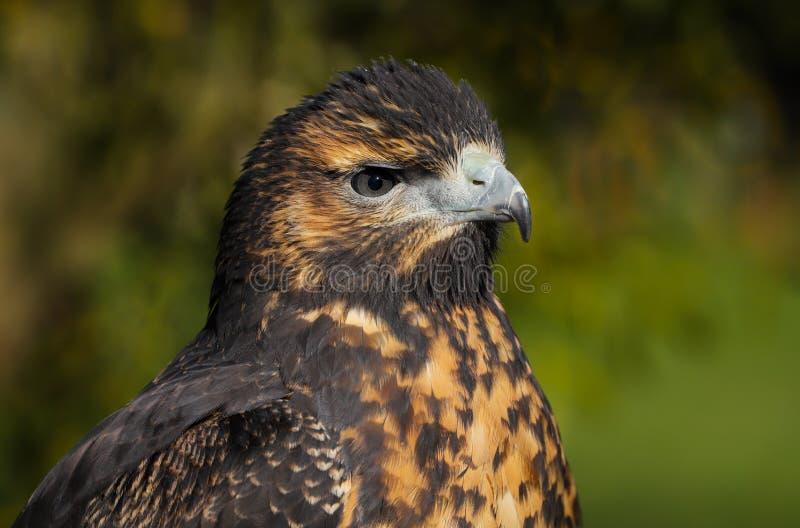 Zamyka w górę kierowniczego i ramion Popielaty myszołów Eagle obrazy royalty free