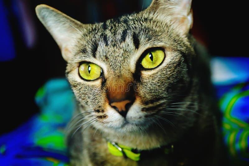 Zamyka w górę kierowniczego Tabby kota zdjęcie stock