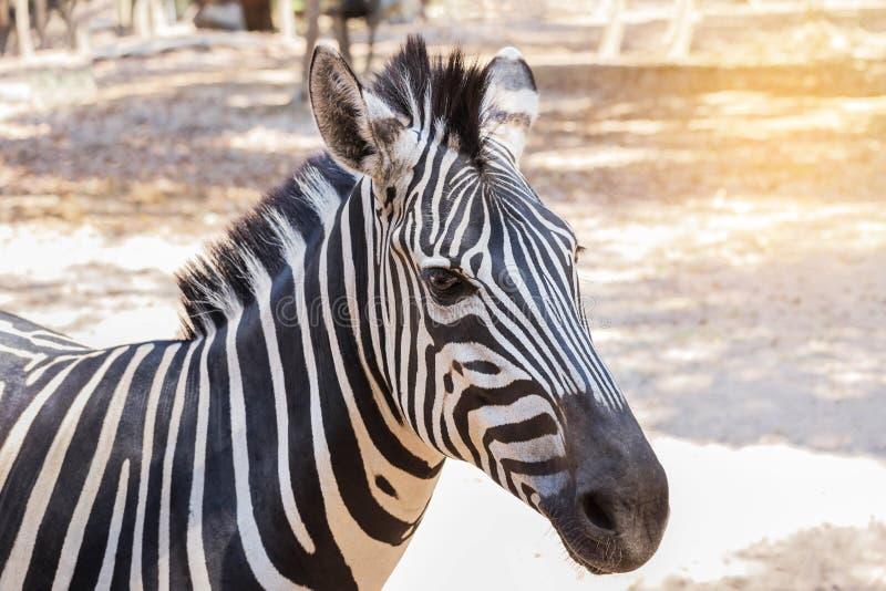 Zamyka w górę kierowniczej gf równiien zebry Equus kwaga lub Burchells zebry obrazy royalty free