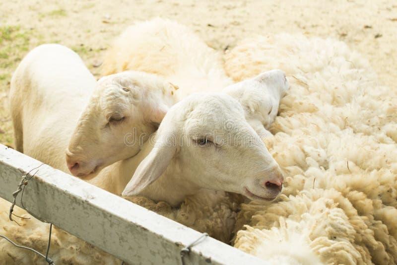 Zamyka w górę kierowniczych cakli w gospodarstwie rolnym Bydlęcia gospodarstwo rolne zdjęcie royalty free