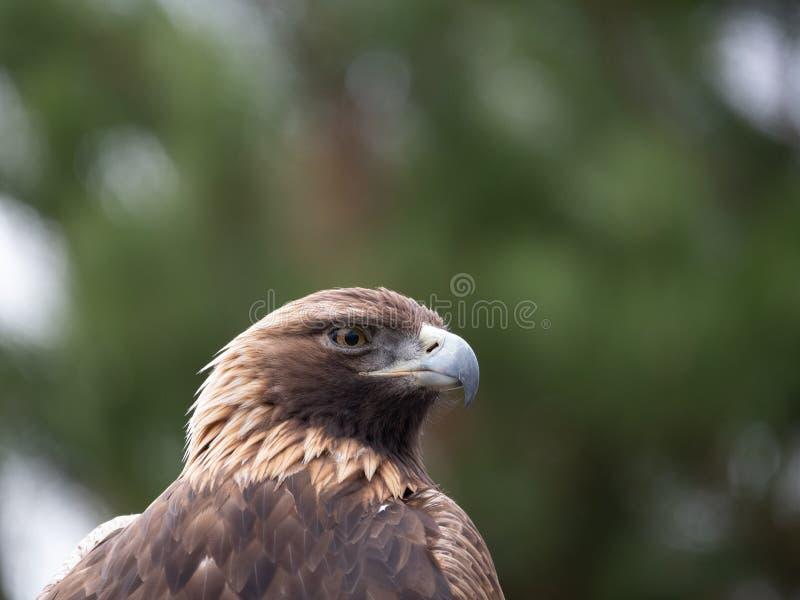 Zamyka W górę klatki piersiowej Złoty Eagle i głowy fotografia royalty free