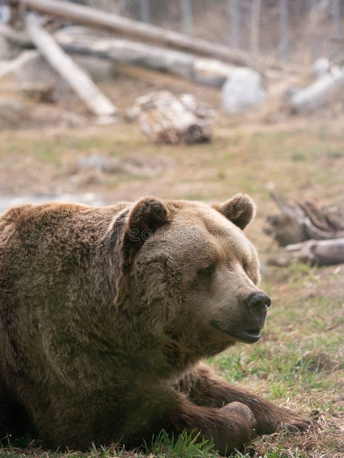 Zamyka W górę klatki piersiowej Zmonopolizowany grizzly niedźwiedź i głowy obrazy royalty free