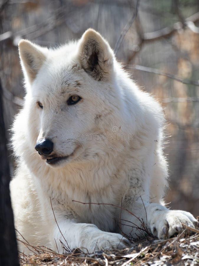 Zamyka W górę klatki piersiowej Zmonopolizowany Szary wilk i głowy obraz stock