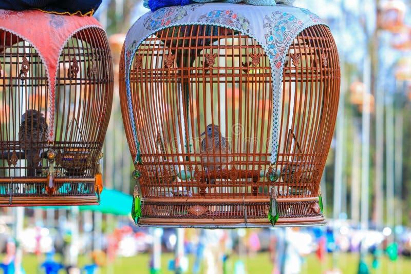 Zamyka w górę klatkowej zebry gołąbki konkursu tradyci (Geopelia striata) zdjęcie stock