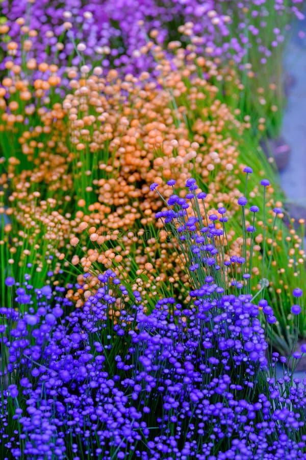 Zamyka w górę kolorowego małego trawa kwiatu tła, zdjęcie royalty free
