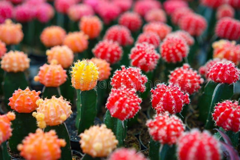 Zamyka w górę kolorowej kaktusowej rośliny jako tło obrazy royalty free