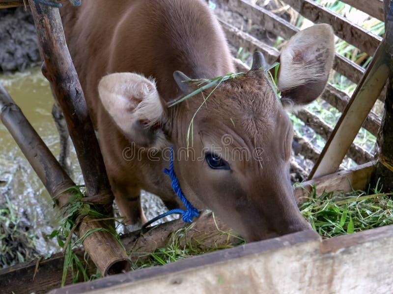 Zamyka w górę krowy i łydki karmienia w kramu przy jatiluwih tarasami fotografia royalty free